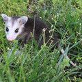 Userindexthumb_little_possum