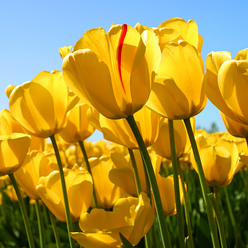 Largesquare_tulips