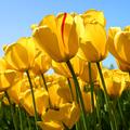Userindexthumb_tulips